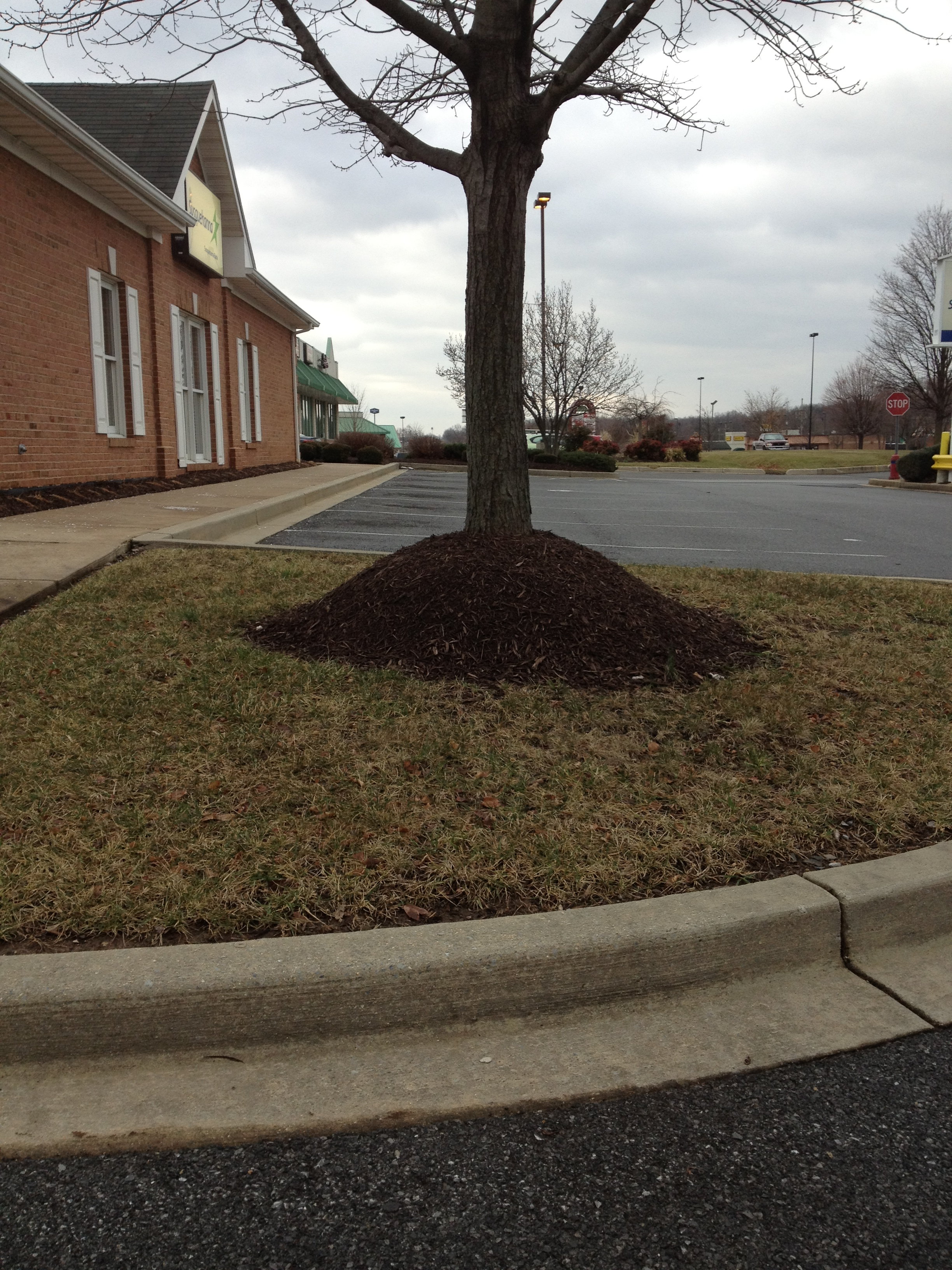 Volcano mulching can be a slow tree killer